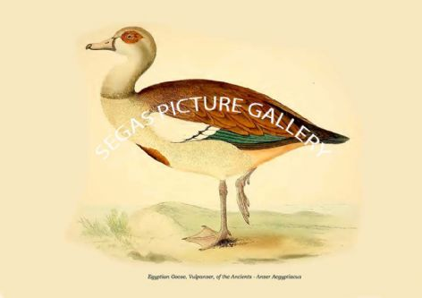 Fine art print of the Egyptian Goose, Vulpanser, of the Ancients - Anser Aegyptiacus by Beverley Robinson Morris (1855)